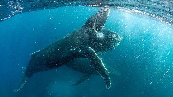 複雑になったり単純になったり ザトウクジラの「歌」が変化するわけ