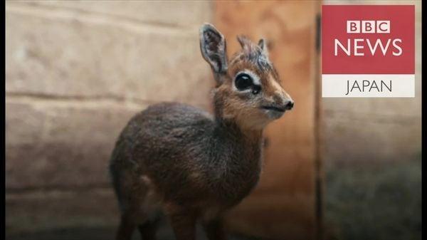 ディクディクの赤ちゃん、英動物園ですくすく