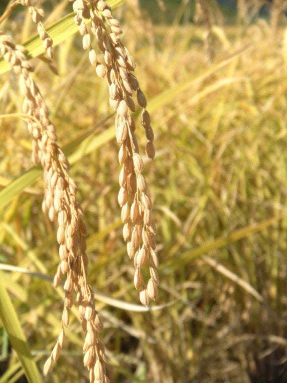 「安さを売りにしない、ホンモノを作るだけ」福島で農業を続けることを選んだ米農家の8代目(後篇)