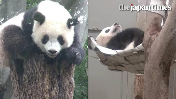 Ueno Zoo's Xiang Xiang the panda's turns 1 year old