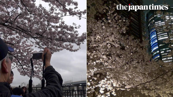 Cherry blossom season in Tokyo, Japan 2017