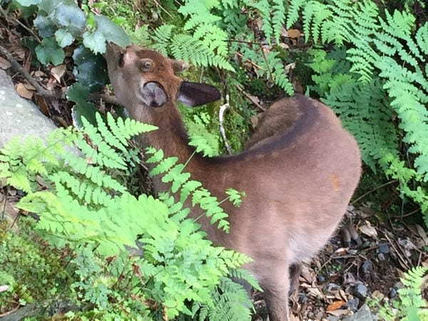 屋久島の森が危ない!ヤクシカによる深刻な被害