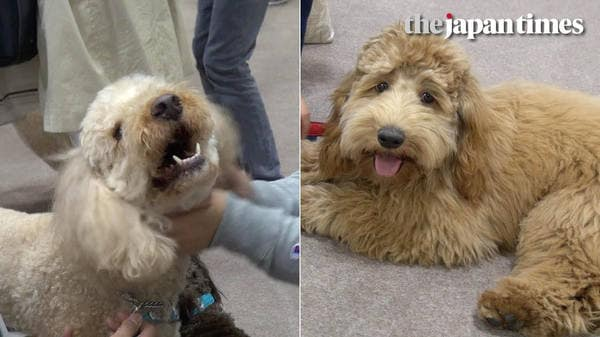 Australian labradoodles at Interpets 2017