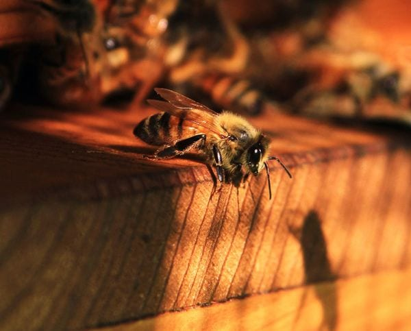 「ミツバチ問題」は農薬規制だけでは解決しない