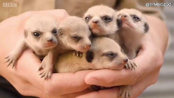 ミーアキャットの赤ちゃん5匹 シドニー近郊からこんにちは