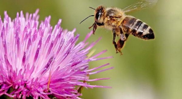 ミツバチに何が?世界で相次ぐ謎の大量死