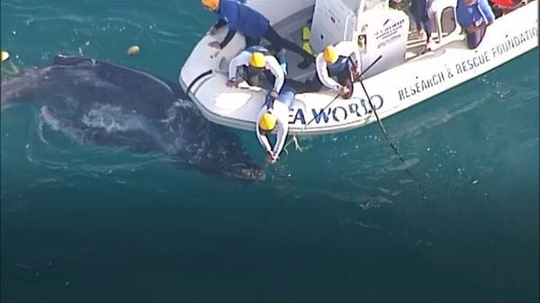 網にからまって動けず、子供のザトウクジラ救出 豪東岸沖