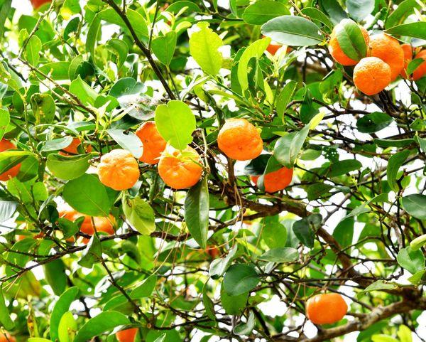 本土復帰した沖縄で産業の柱になった果物