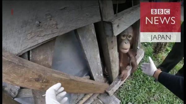 4歳のオランウータン、2年閉じ込められた箱から解放