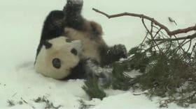 ころころと雪の中をでんぐり返し――フィンランドでパンダ初公開