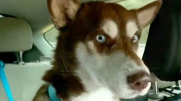 消えたハスキー犬、約1800キロ先で発見 1年半ぶりに家族と再会