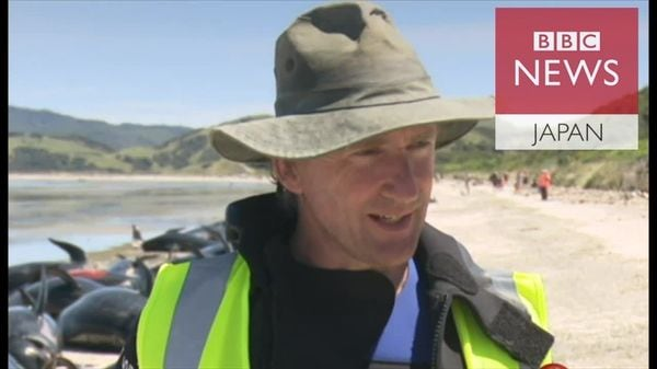 NZで打ち上げられたクジラ数百頭、一部は安楽死措置