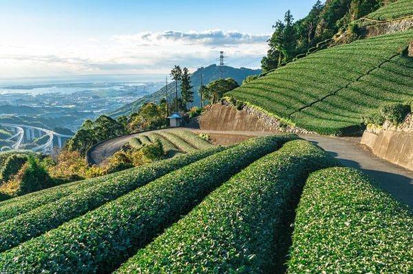 急須離れと世界進出が混ざり合う日本の緑茶