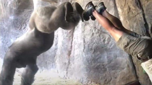 ゴリラが逆立ち習得 米フロリダの動物園
