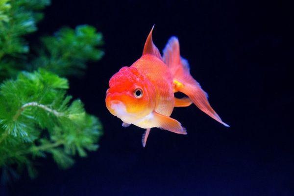 金魚は一生、閉じられた世界で生きるのか