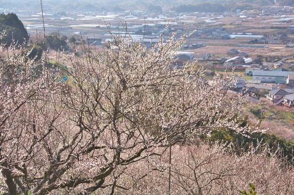 海外のウイルスが日本の梅を襲っている!